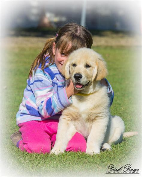 golden retriever fact sheet national golden retriever council golden retrievers australia