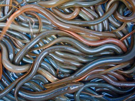 belut budidaya ikan ikan hias resep ikan gambar  video