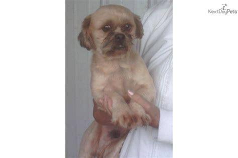 shih tzu smart shih tzu puppy for adoption near 54ce6d2e 7172