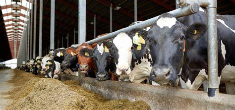 mangimi e alimenti alimenti e mangimi per bovine in lattazione