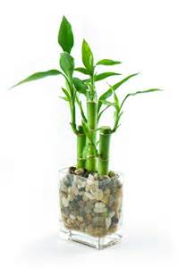 Small Desk Bamboo Plant Pictures Of Lucky Bamboo Arrangements Slideshow