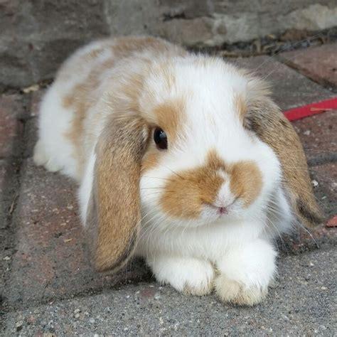 Lop Cd 970 best rabbit pictures images on