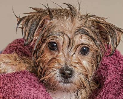how often should you wash a puppy how often should you wash your diy grooming help