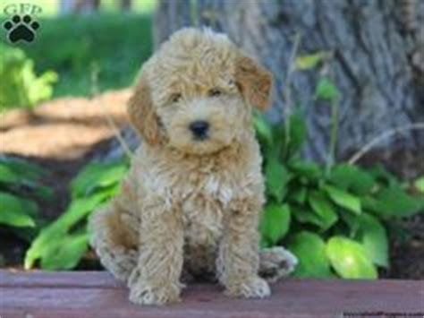 mini goldendoodles 1000 1000 images about oodles of doodles on