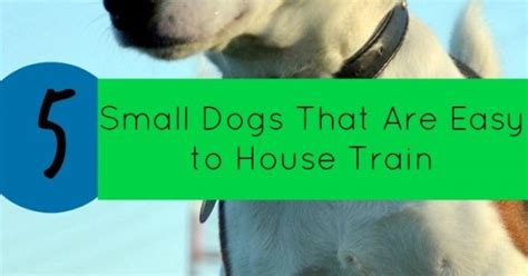 how to house train small dogs 5 small dogs that are easy to house train dogvills