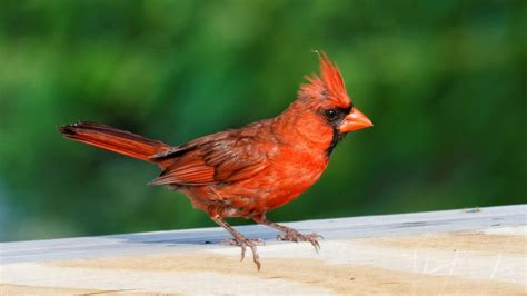 the red cardinal bird holds special spiritual meaning for