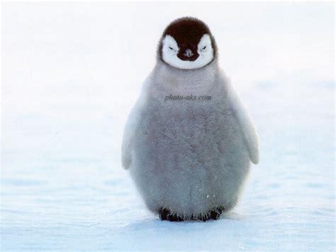 Teh Kotak Eceran حیوانات پرندگان عکس پنگوئن