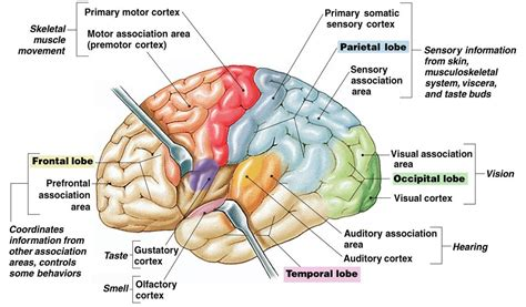 primary motor cortex function and location associate degree nursing physiology review