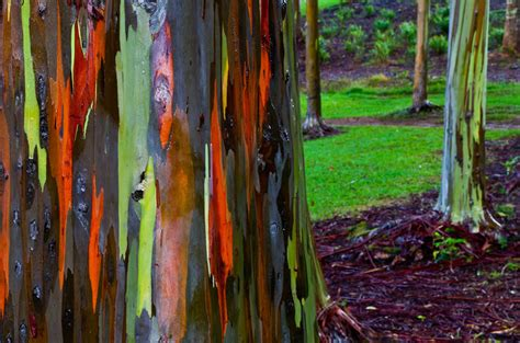 rainbow eucalyptus trees maui hawaii world for travel