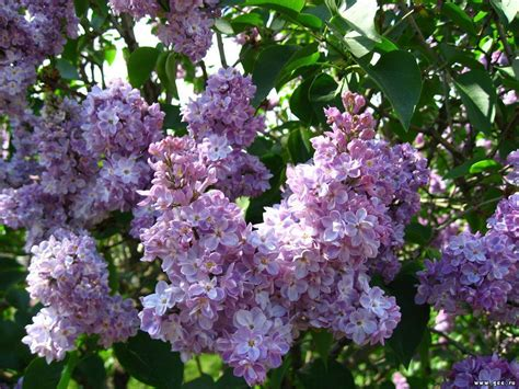 lilacs flowers lilac flowers photo 22283364 fanpop