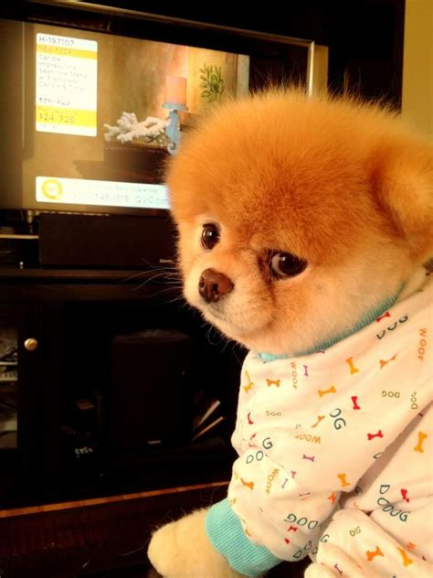 pomeranian boo price 30 best images about boo the on cutest dogs puppys and photo books