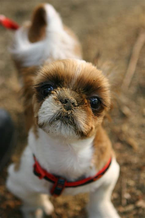shih tzu original breed free images puppy walk park vertebrate breed
