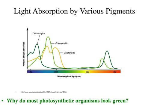 the absorption of light by photosynthetic pigments worksheet answers ppt photosynthesis ib biology hl e mcintyre powerpoint