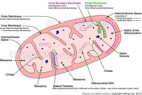 simple diagram of mitochondria structure of mitochondria