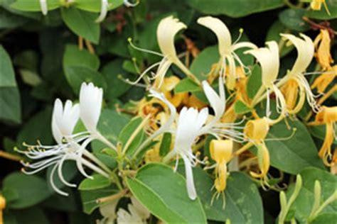 blühende kletterpflanzen winterhart mehrjährig gei 223 blatt heckenkirsche pflanzen pflege und schneiden