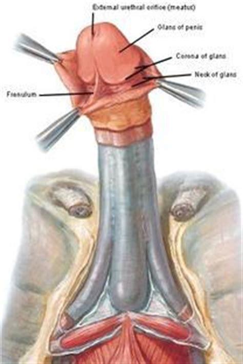 Urethral Meatus Anatomy