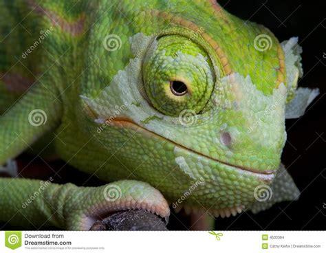 shedding chameleon 2 stock images image 4533384