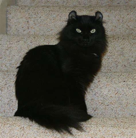 The Unexposed Secret of Black Cats Breeds   Karter Magazine