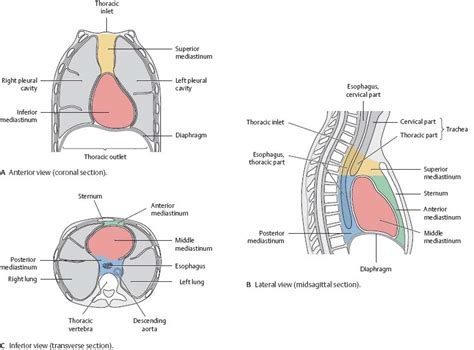 what are the divisions of the surgery section based on thoracic cavity atlas of anatomy