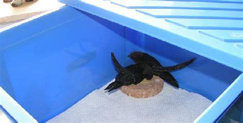 animali piccoli da tenere in casa common apus apus