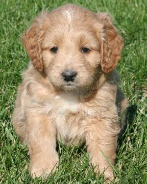 mini goldendoodle puppies for sale miniature goldendoodle