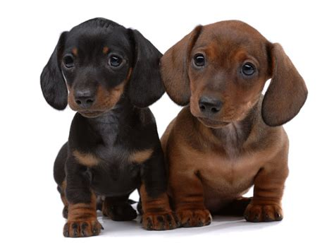 how much does a beagle puppy cost how much does a dachshund puppy cost many