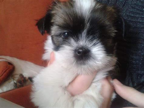miniature lhasa apso puppies for sale gorgeous lhasa apso puppies for sale breeds picture