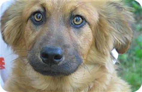 golden retriever puppies hagerstown md peggy sue adopted puppy lm hagerstown md golden retriever collie mix