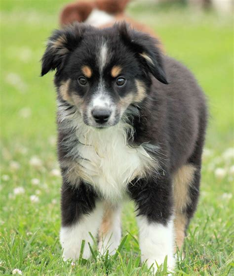 brown australian shepherd puppies australian shepherd puppies brown www pixshark images galleries with a bite