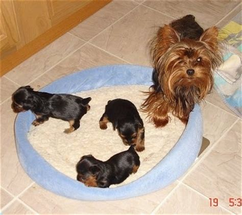 7 week yorkie puppies terrier breed pictures yorkie page 3