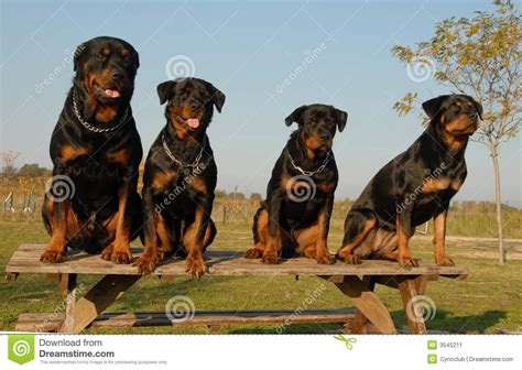 rottweiler as family rottweiler family stock image image 1822161 breeds picture