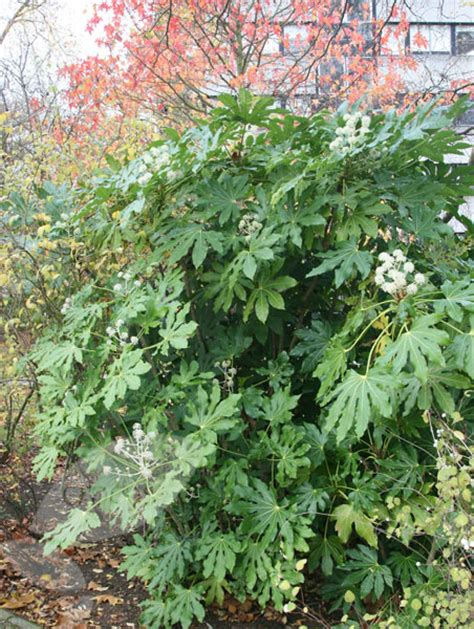 buy japanese aralia fatsia japonica delivery by waitrose