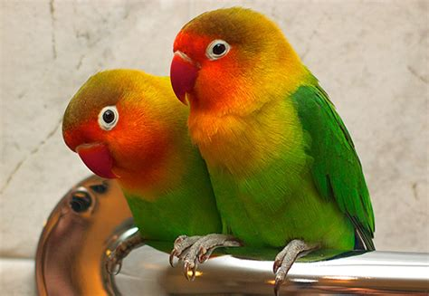 lovebirds pets n more