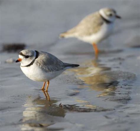 1000 images about piping plovers on pinterest