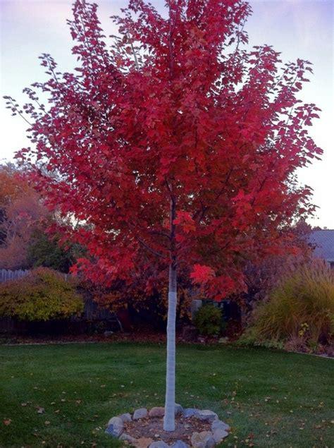 red maples fare   partial  full sun  tree