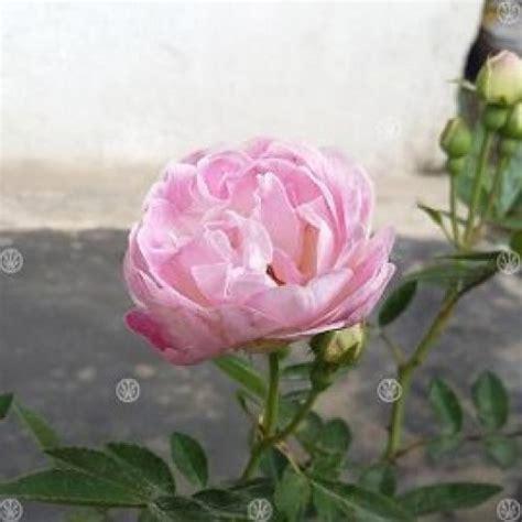 Tanaman Hias Mawar Pink jual tanaman mawar climbing noisette pink hp