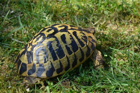tartaruga hermanni alimentazione testudo valdarno allevamento di tartarughe e