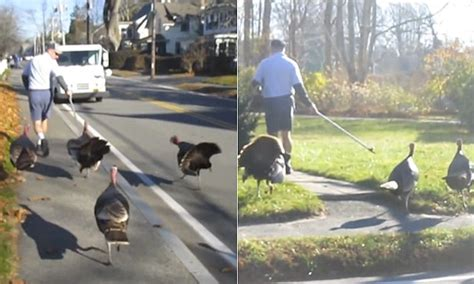 does the mailman come on mailman stalked by turkeys every day fends them with a