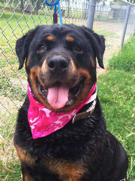 rottweiler rescue new jersey rottweiler puppy rescue california dogs our friends photo