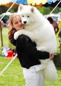 samoyed colors funologie a picture is worth a thousand words big