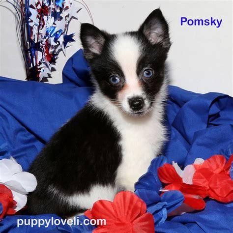 puppy franklin square les 25 meilleures id 233 es de la cat 233 gorie chiots pomsky 224 vendre sur
