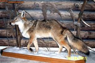 Coyote full body mount ohio trapping and varmint hunting