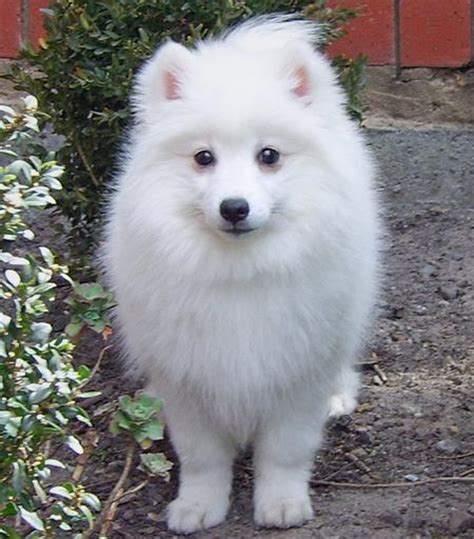 pomeranian spitz mix puppies pomeranian japanese spitz mix breeds picture