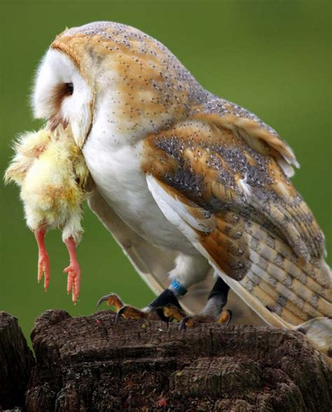 What Eats Barn Owls 15 pictures of owls with freshly prey