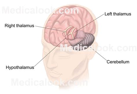 diagram of diencephalon diencephalon diagram www pixshark images galleries