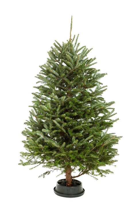 drill holes christmas tree tree not water drill holes theveliger