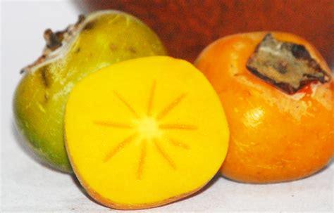Bibit Buah Kesemek buah kesemek disambung saja bebeja
