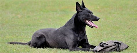 black belgian malinois puppies for sale personal protection dogs for sale belgian malinois puppies shepherd puppies