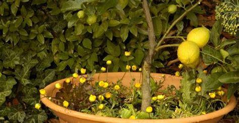 fioritura limoni in vaso como cultivar lim 227 o no vaso greenme br