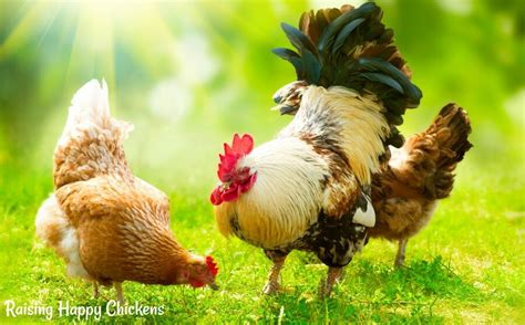 What Do Backyard Chickens Eat giving poor chickens instead of poor as folk